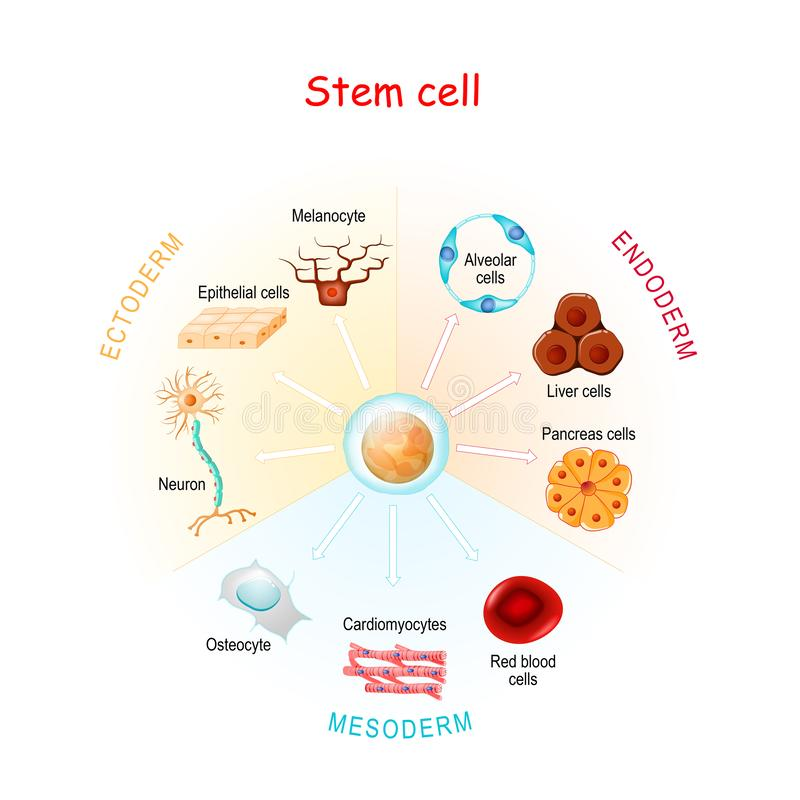 Stem cell stock images