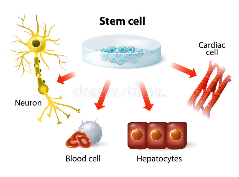 Stem cell application. Using stem cells to treat disease vector illustration