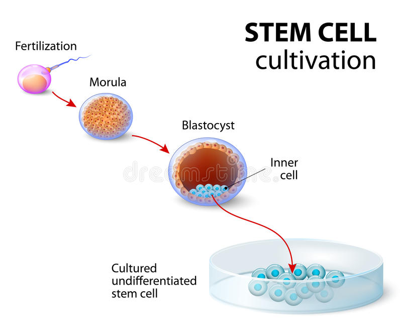 Stem cell cultivation. In Vitro Fertilization of the egg by a sperm outside the body. after several days they develop into undifferentiated stem cells royalty free illustration