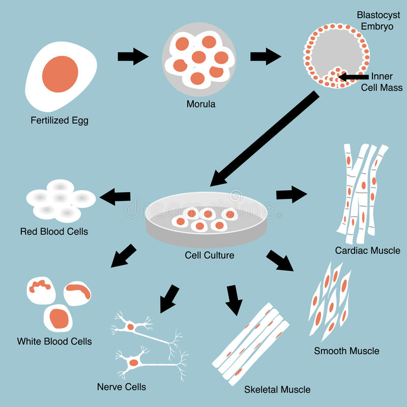 Stem Cell. Illustration of stem cell culture and cell differentiation royalty free illustration