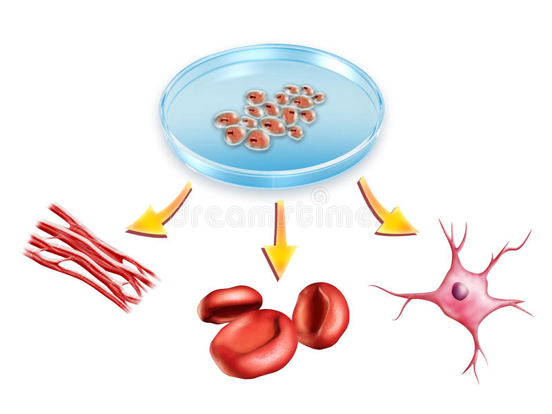 Stem cells. Pluripotent stem cells used to generate muscle, blood and neural cells. Digital illustration
