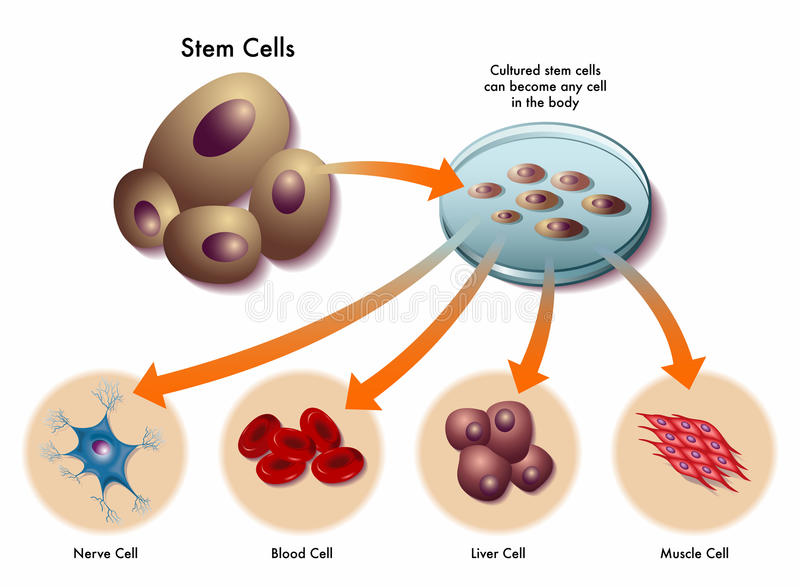 Stem cells stock illustration