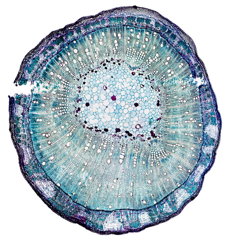 Stem of Cotton. A cross section of a cotton stem - 40X magnification - isolated on a white background with clipping path stock photo
