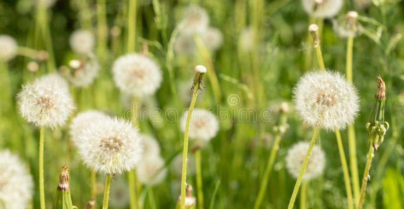 Stem of flown dandelion among white fluffy dandelion flowers. royalty free stock photography