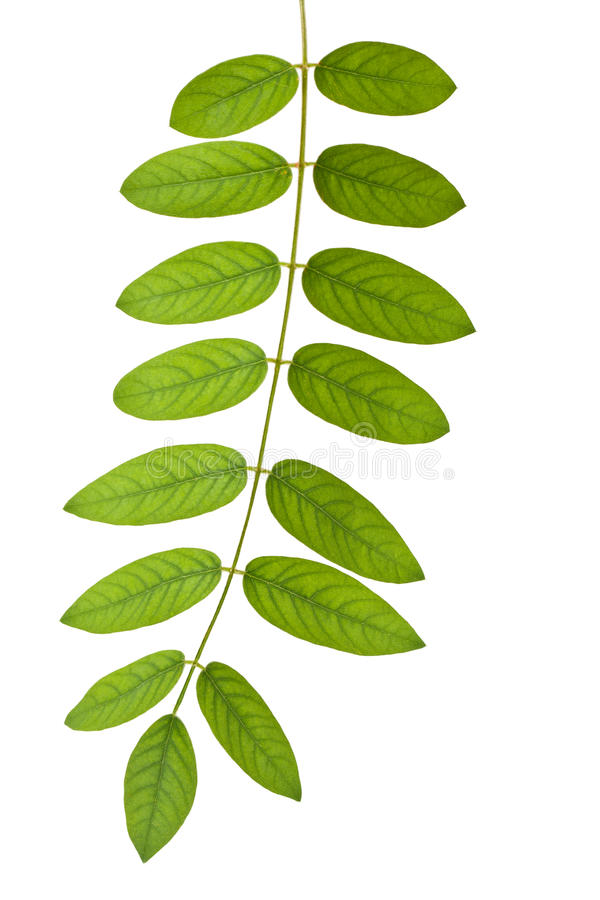 Stem With Green Leaves Stock Image
