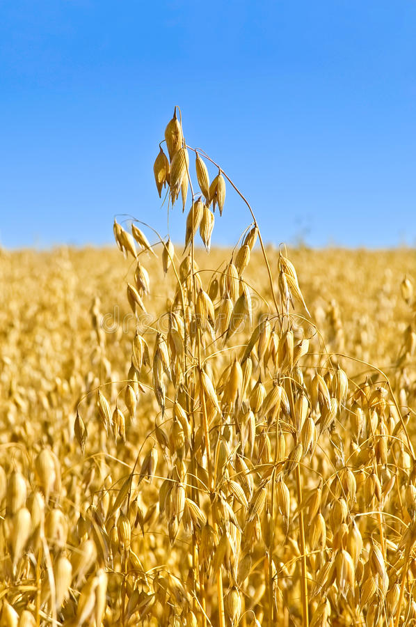 Stem oats field royalty free stock images