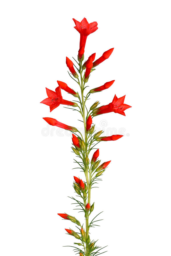 Stem of red Ipomopsis aggregata Hummingbird mix flowers isolated. Single stem with bright-red flowers of Ipomopsis aggregata cultivar Hummingbird, also called royalty free stock photos