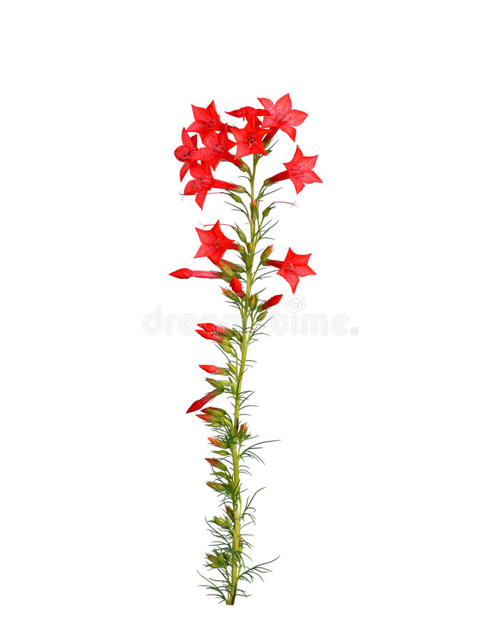 Stem of red Ipomopsis aggregata Hummingbird mix flowers isolated. Single stem with bright-red flowers of Ipomopsis aggregata cultivar Hummingbird, also called royalty free stock image