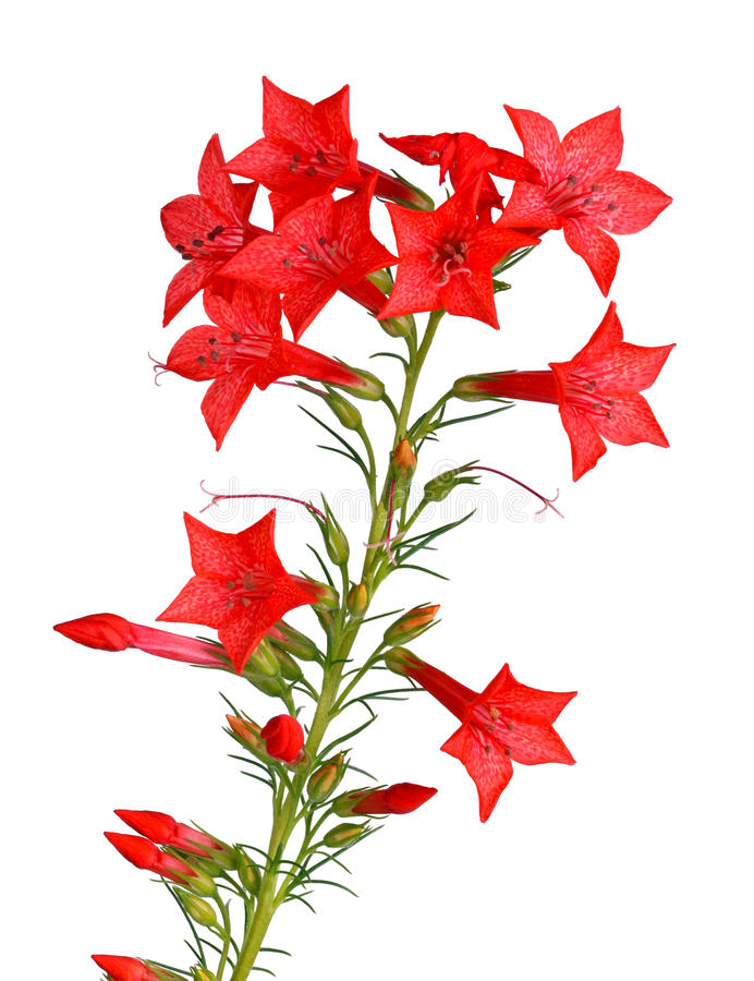 Stem of red Ipomopsis aggregata Hummingbird mix flowers. Single stem with bright-red flowers of Ipomopsis aggregata cultivar Hummingbird, also called scarlet stock image