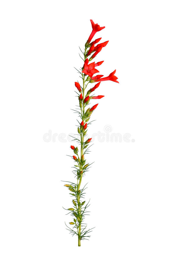 Stem of red Ipomopsis aggregata Hummingbird mix flowers. Single stem with bright-red flowers of Ipomopsis aggregata cultivar Hummingbird, also called scarlet stock photo