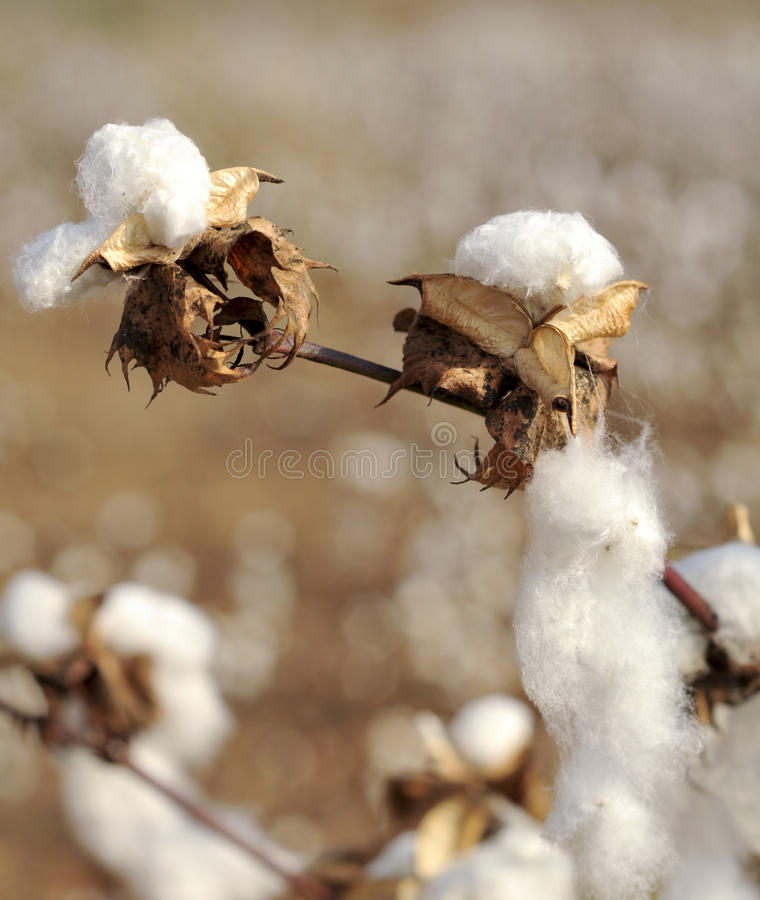 Stem of ripe cotton royalty free stock photo