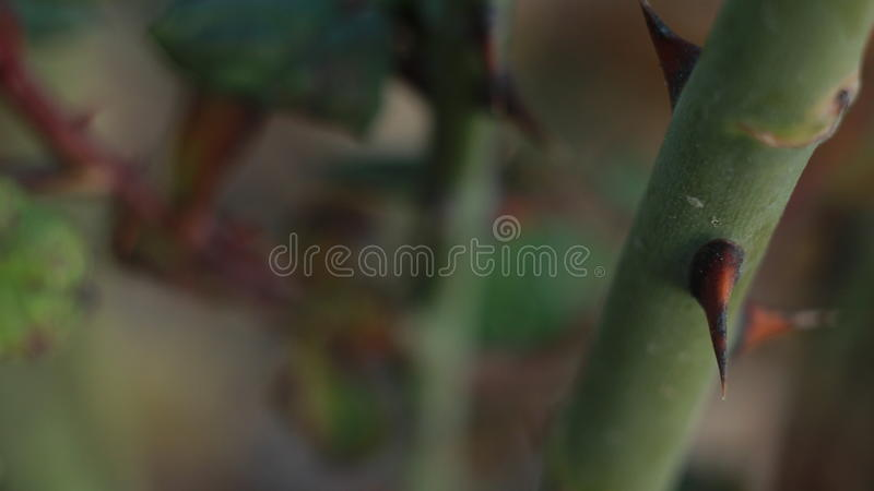 Stem of rose with thorn royalty free stock photo