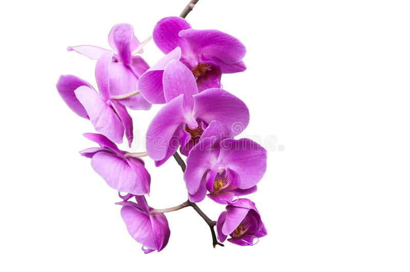 Stem of violet colored orchids on white background. Stem of violet colored orchids on isolated on a white background royalty free stock images