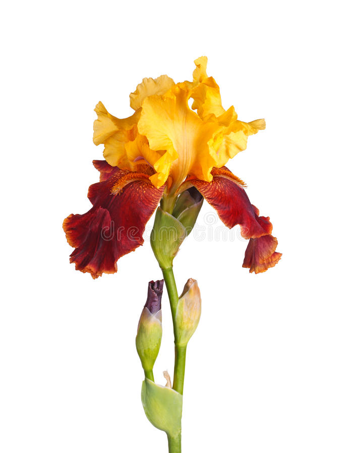 Stem with yellow and burgundy iris flower isolated on white royalty free stock photography