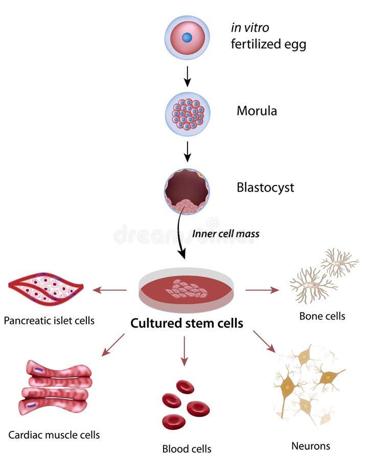 Stemceller stock illustrationer