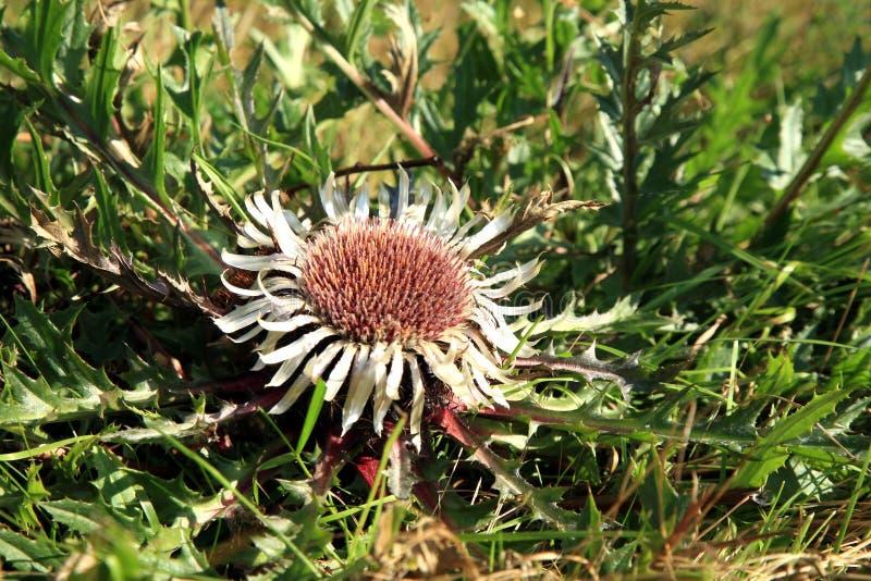 stemless thistle för carline blommor arkivfoto