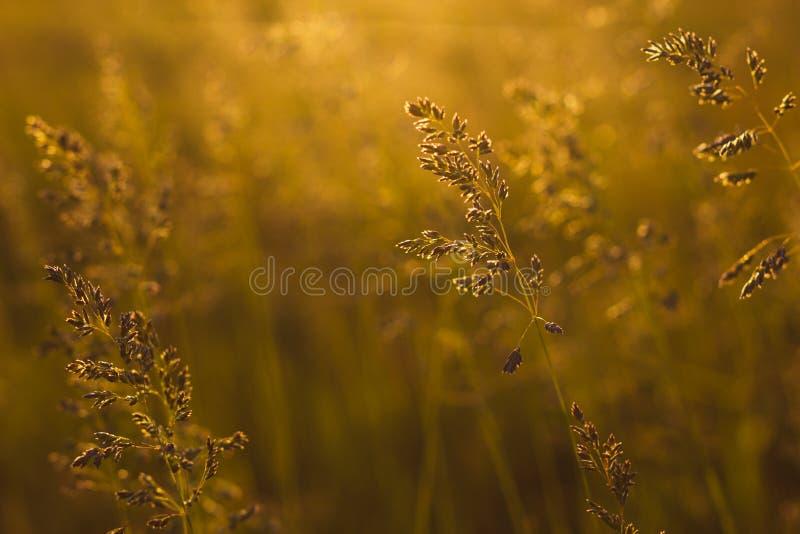 Stems of field grass on sunset. Bluegrass on sundown. Selective focus, film effect and author processing. Stems of field grass on sunset. Bluegrass on sundown stock photo