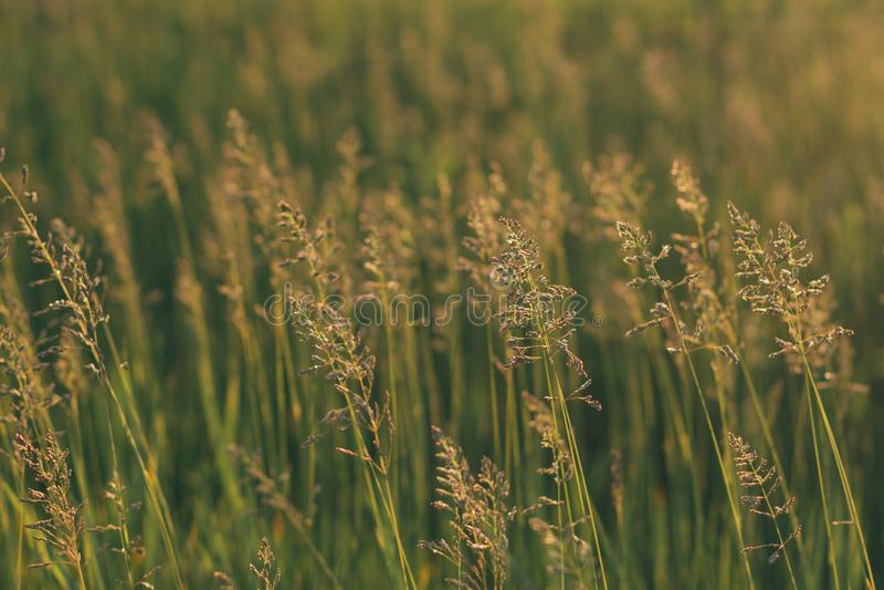 Stems of field grass on sunset. Bluegrass on sundown. Selective focus, film effect and author processing. Stems of field grass on sunset. Bluegrass on sundown stock photos