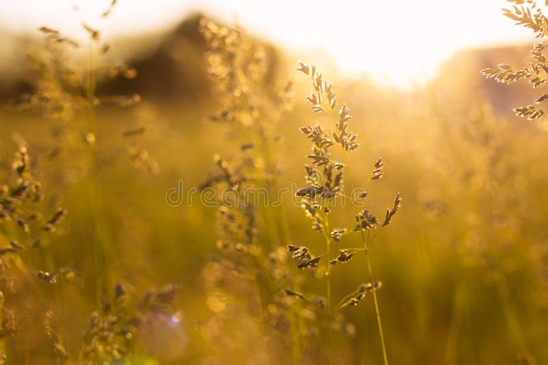 Stems of field grass on sunset. Bluegrass on sundown. Selective focus, film effect and author processing. Stems of field grass on sunset. Bluegrass on sundown royalty free stock photography