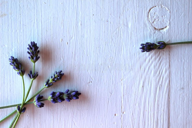 Stems of lavander stock photography