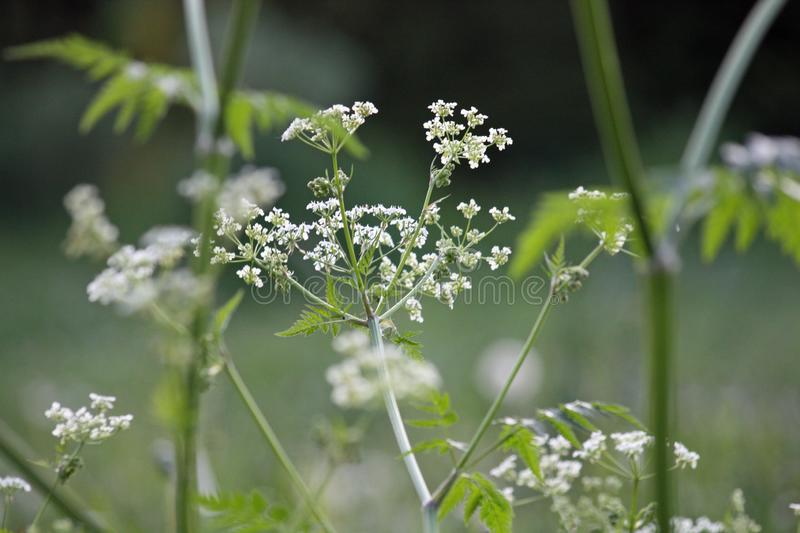 The stems, leaves and flowers of yarrow on a blurred green background. royalty free stock image