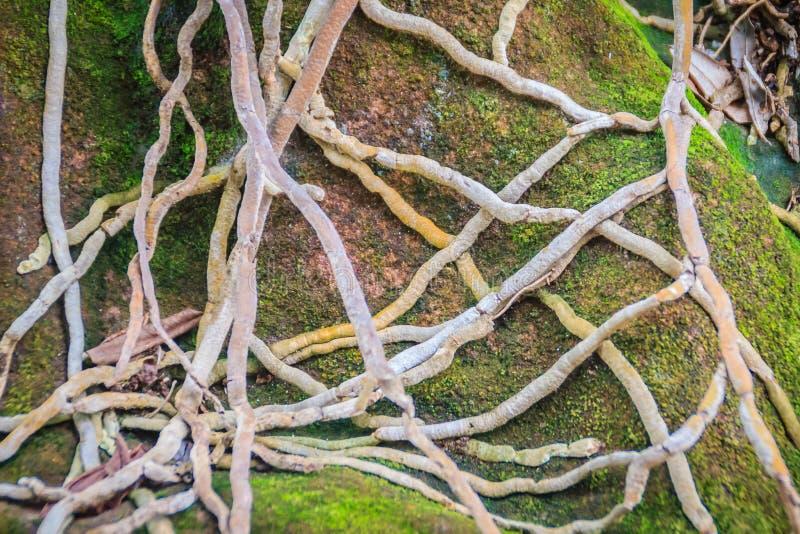 Sten för orkidétuträkning med grön mossig bakgrund Tilltrasslade lodisar royaltyfri foto