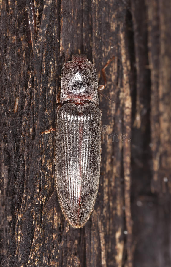 Download Stenagostus Rhombeus A Click Beetle Royalty Free Stock Photography - Image: 22656127