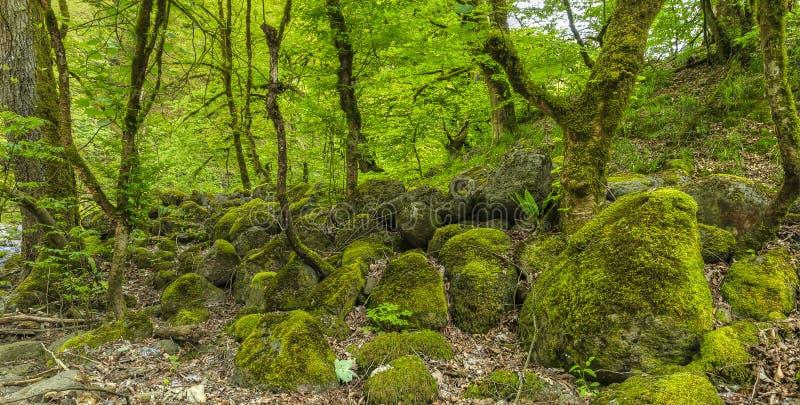 Stenar som täckas med mossa i skogen arkivfoton