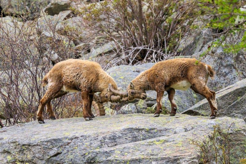 Stenbock i den Gran Paradiso nationalparken royaltyfria bilder