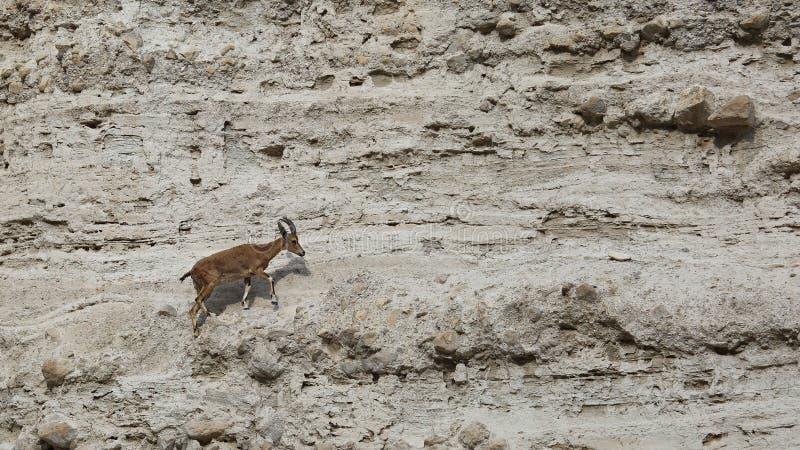 Stenbock Nubiana för Capra för klättringNubian stenbock i den Ein Gedi naturreserven, Israel fotografering för bildbyråer