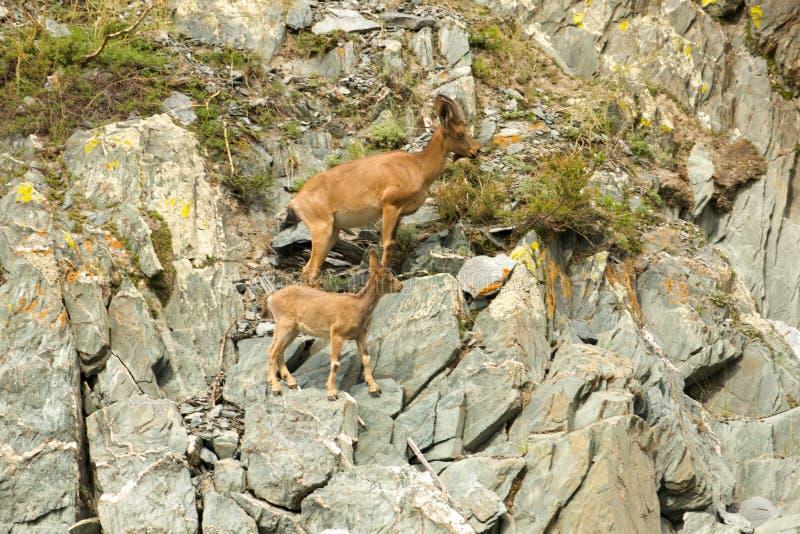 Stenbocksvärm upp berg royaltyfri foto