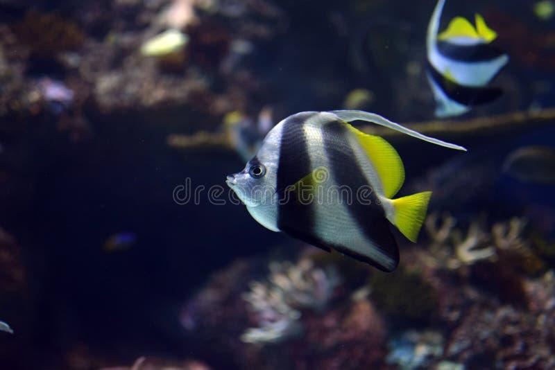 Stendardo Coralfish o heniochus acuminatus di Longfin Bannerfish fotografie stock libere da diritti