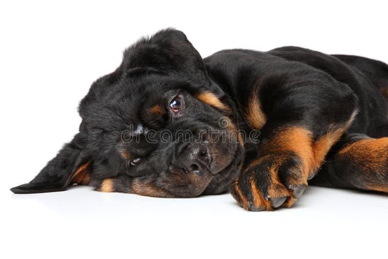Stenditura del cucciolo di Rottweiler fotografia stock