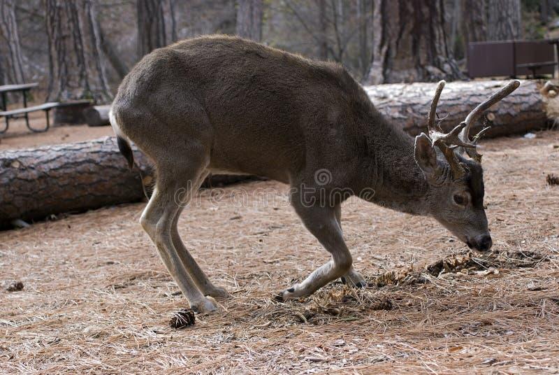 Stenditura del dollaro dei cervi di mulo immagini stock libere da diritti