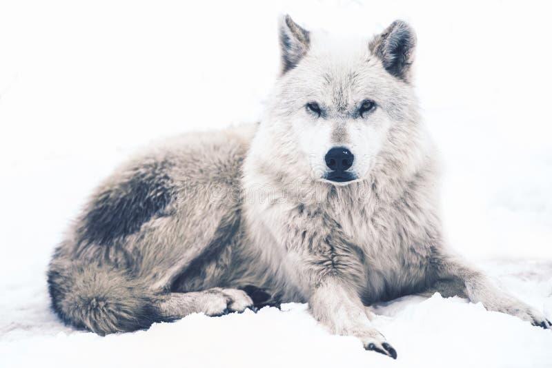 Stenditura del lupo artico fotografie stock libere da diritti