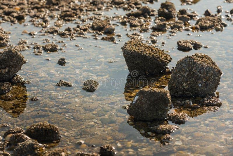 Stenen met eikeleendenmosselen in laag zonlicht stock afbeelding