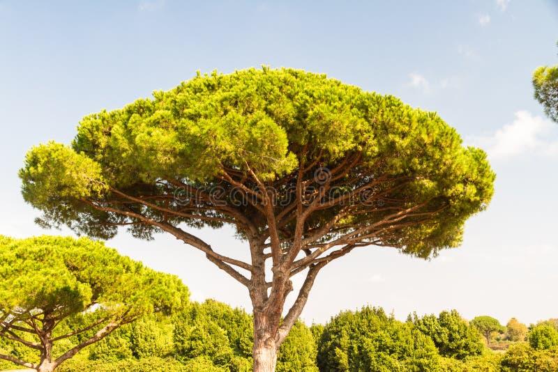 Stenen sörjer eller Pinus Pinea arkivfoton