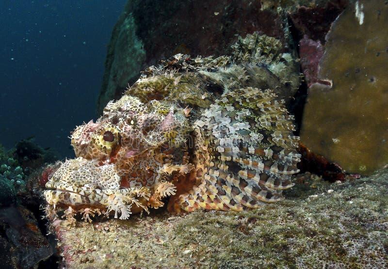 Stenfisk i Sulawesi Indonesien arkivbilder