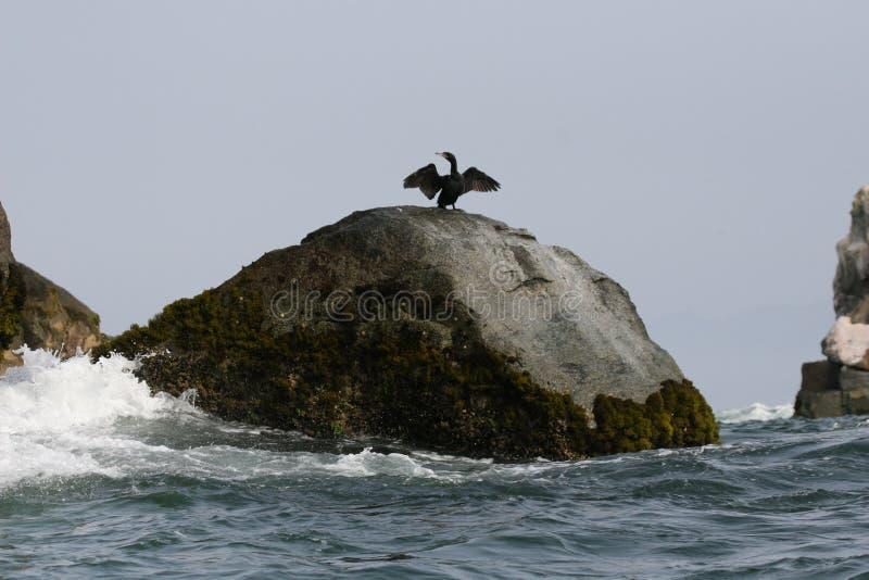 Stenig utlöpare med den neotropic kormoran som torkar dess vingar royaltyfri foto