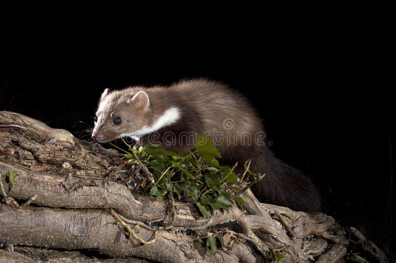 Stenmård - Martesfoina, filialer av ett träd, nattligt däggdjur arkivfoton