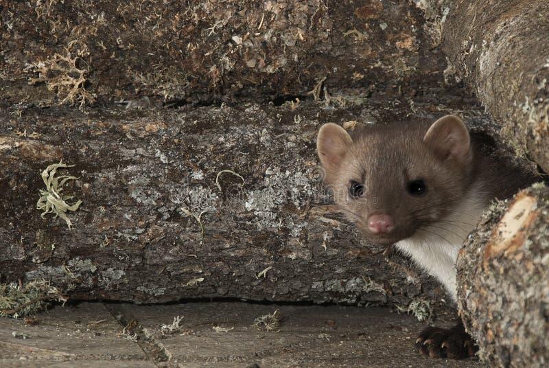 Stenmård - Martesfoina, nattligt däggdjur royaltyfri foto