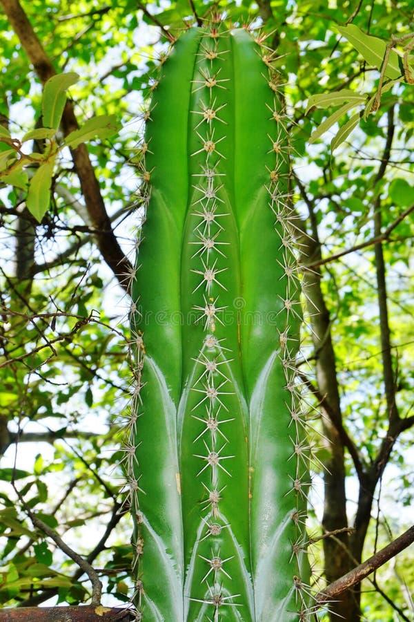 Stenocereus Aragonii columnar kaktus i Costa Rica royaltyfri bild