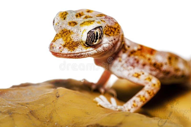 Stenodactylussthenodactylus stock afbeelding
