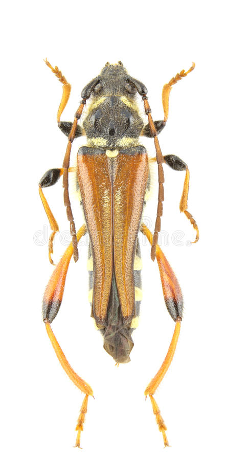 Download Stenopterus Rufus Stock Images - Image: 18171584