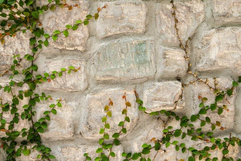Stenvägg med den gröna rankaväxten royaltyfri foto