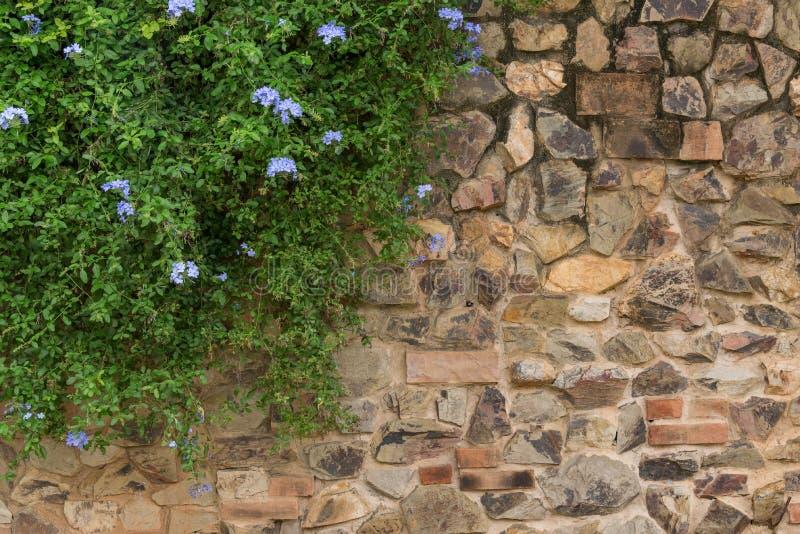 Stenvägg och purpurfärgad blomma med gröna tjänstledigheter som hänger från stenväggen arkivbilder