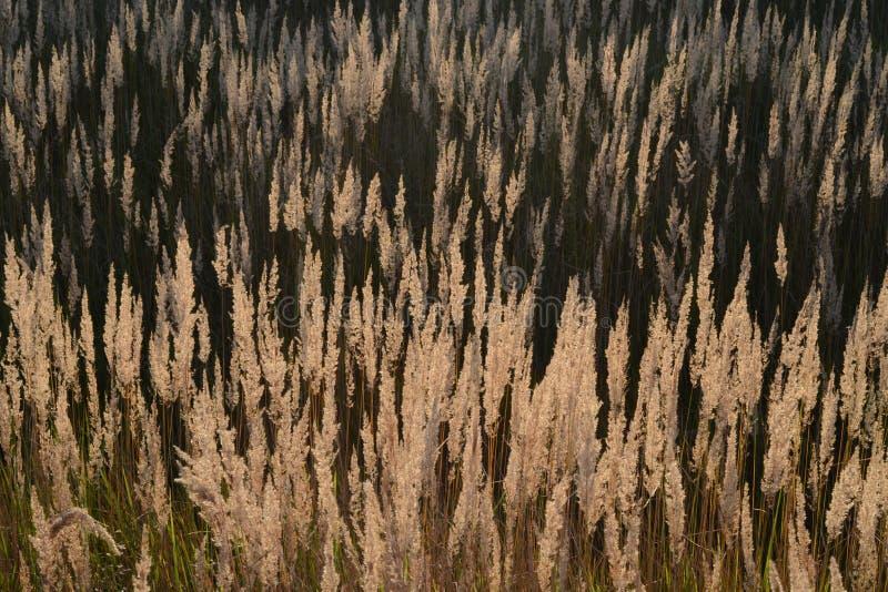 Step pi?rkowa trawa przy zmierzchem Kolce ?r?dpolna trawa w wiecz?r s?o?cu obraz stock