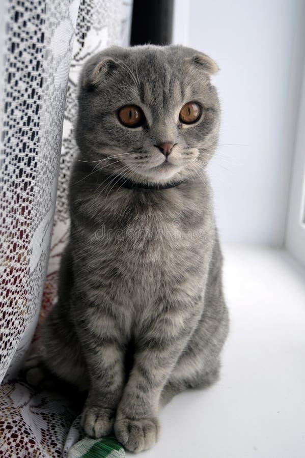 Stepan el hijo de nuestro gato británico, animal doméstico mima y los niños, miembro de la familia fotos de archivo