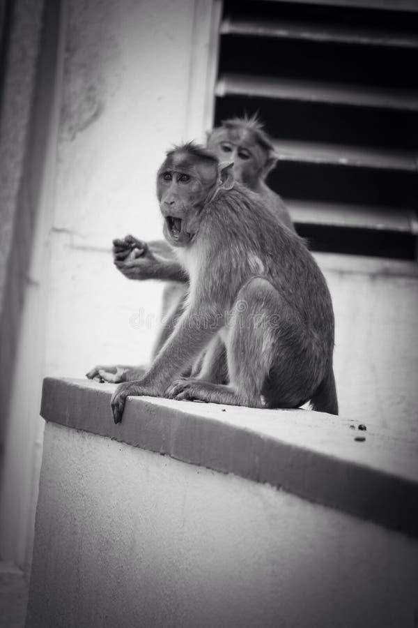 Stepbrothers irritados do macaco fotos de stock royalty free
