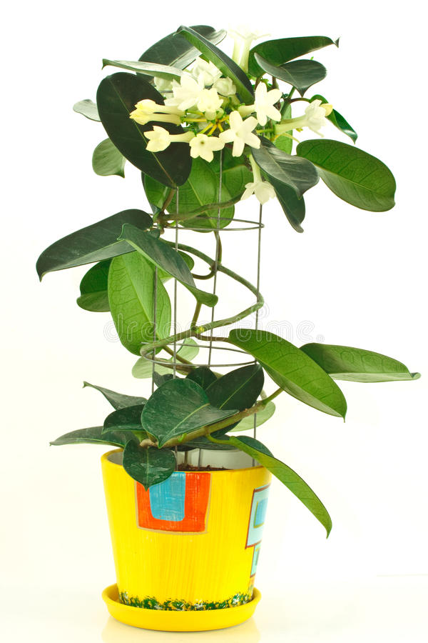 Stephanotis stock photos